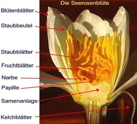 Lieblings Seerosenforum.de das Portal der Seerose #PE_73